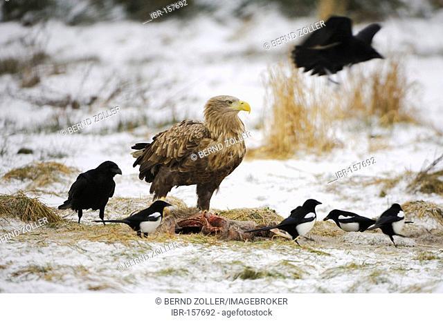 White tailed Eagle (Haliaeetus albicilla) on Feedingplace