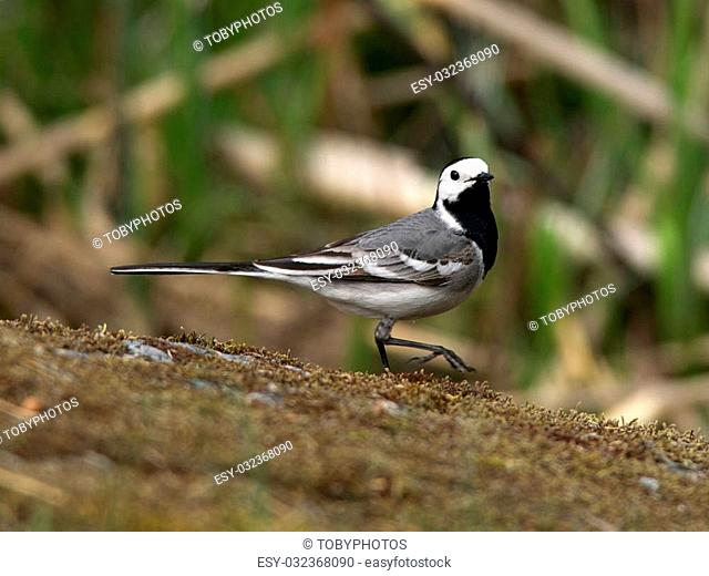 A wagtail strolling down the mossy rock in Uppland, Sweden