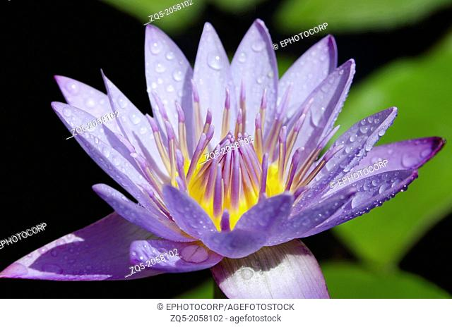 The purple lotus is considered the mystic lotus. Usually depicted as either a bud, or in bloom revealing the heart. Usually associated with the Buddha