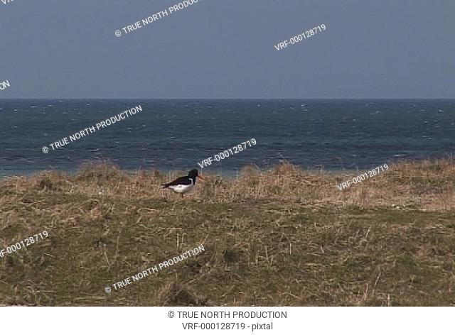 Oyster Catcher, calm blue sea, exploration, hunting on land. Uist, Scotland, UK