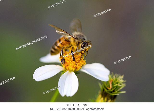HONEYBEE (Apis mellifera) collecting pollen on Beggers Tick (Bidens alba), Fort Myers, Florida, USA