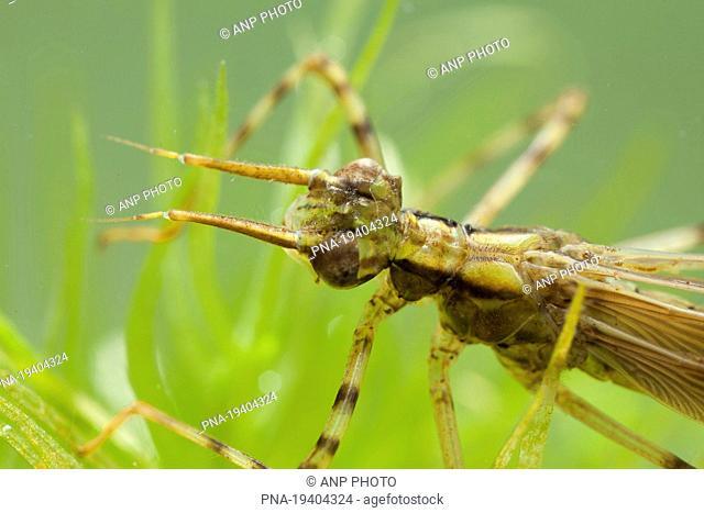 Banded Demoiselle Calopteryx splendens - Lieversche Diep, Lieveren, Drenthe, The Netherlands, Holland, Europe