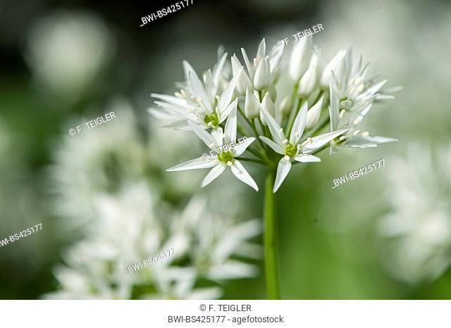 ramsons, buckrams, wild garlic, broad-leaved garlic, wood garlic, bear leek, bear's garlic (Allium ursinum), blooming, Germany