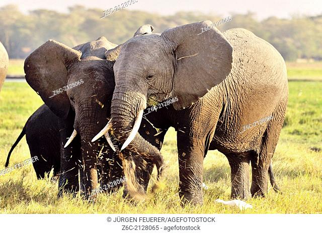 Elephants, Loxodonta africana, with their favourite occupation, Kenya
