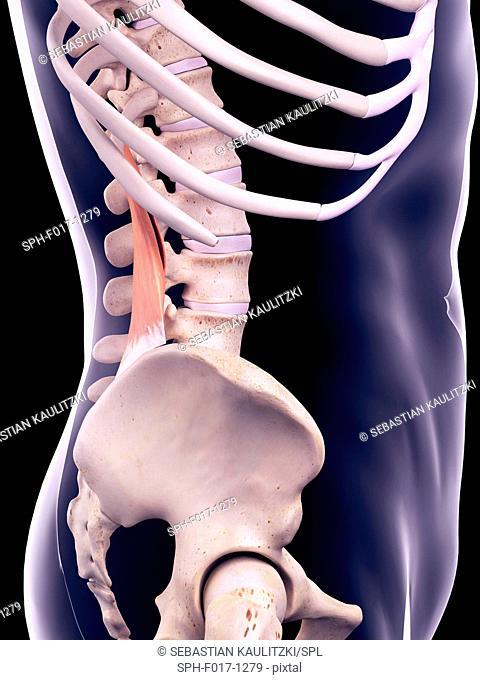 Illustration of the quadratus lumborum muscle