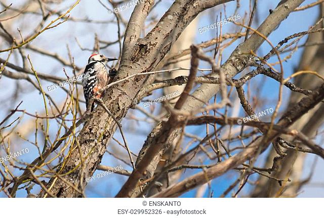 Grey-headed woodpecker on a tree in the forest