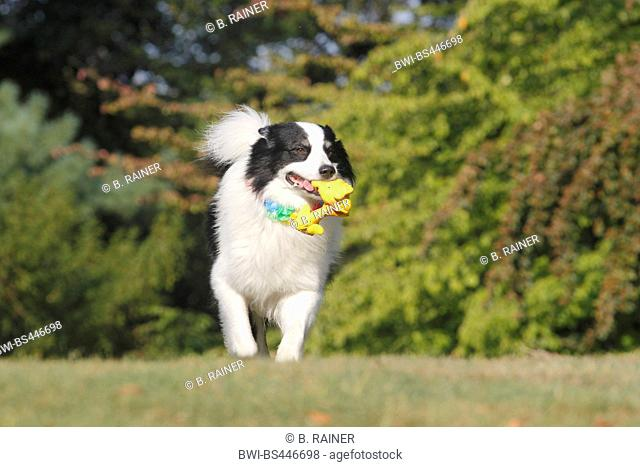 Australian Shepherd (Canis lupus f. familiaris), six years old male dog walking with a dog's toy over a meadow, front view, Germany