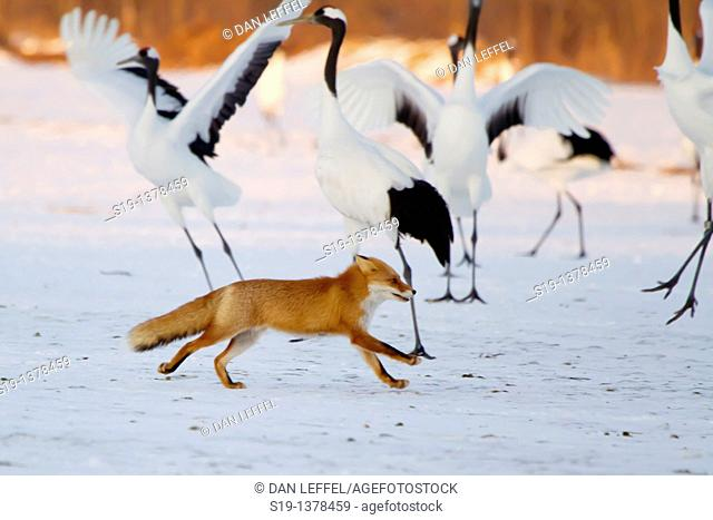 Fox and Red Crowned Cranes, Hokkaido, Japan