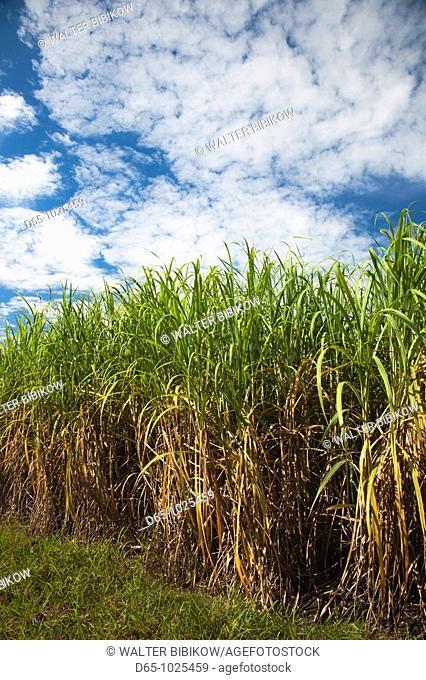 USA, Louisiana, Cajun Country, St  Martinville, sugar cane field