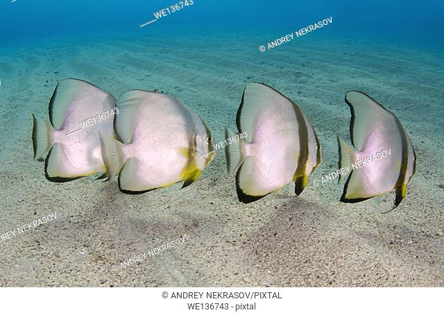teira batfish or longfin batfish (Platax teira) on the sandy bottom, Red sea, Marsa Alam, Abu Dabab, Egypt