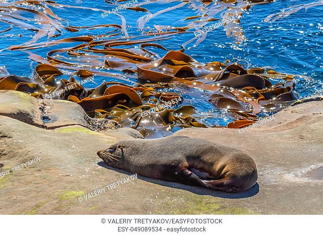 New Zealand fur seal (Arctocephalus Forsteri) at wildlife sanctuary, sunbathing on a rock