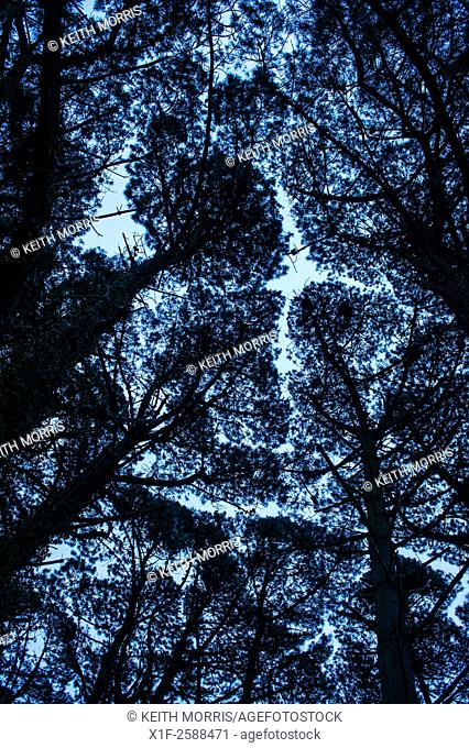 Looking upwards to the silhouetted patterns of the branches of pine trees on a cold grey overcast winter day UK