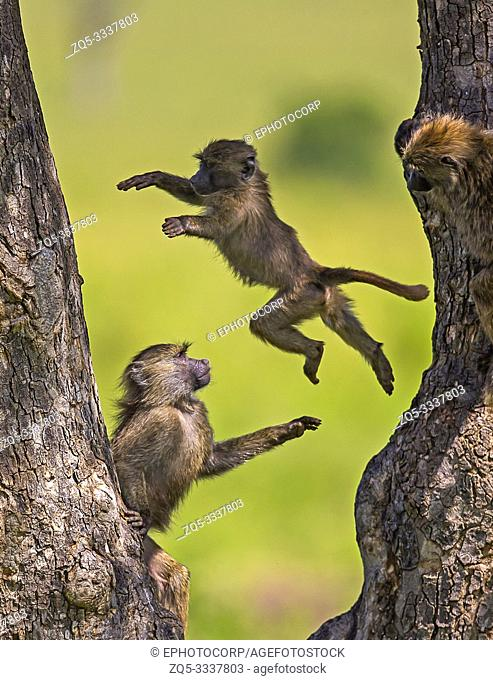 Young baboons playing, Masaimara, Africa