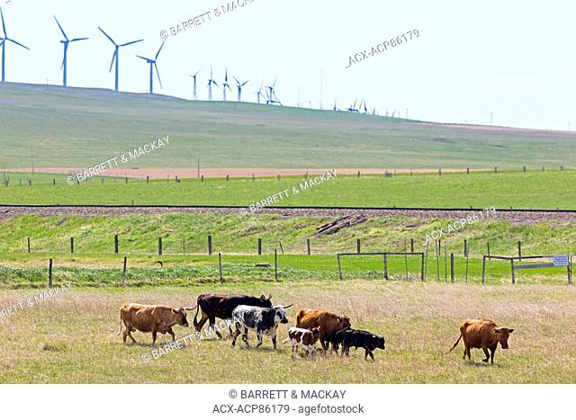 Cattle grazing, Lundbreck, Cowboy Trail, Alberta, Canada