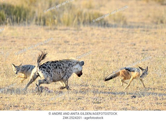 Spotted Hyena (Crocuta crocuta) and Jackal (Canis mesomelas) fighting for caught Thomson's Gazelle (Gazella thomsoni), Ngorongoro conservation area, Tanzania