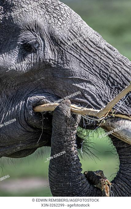 A close up of an African bush elephant (Loxodonta africana), aka African savanna elephant eating in Maasai Mara National Reserve , Kenya