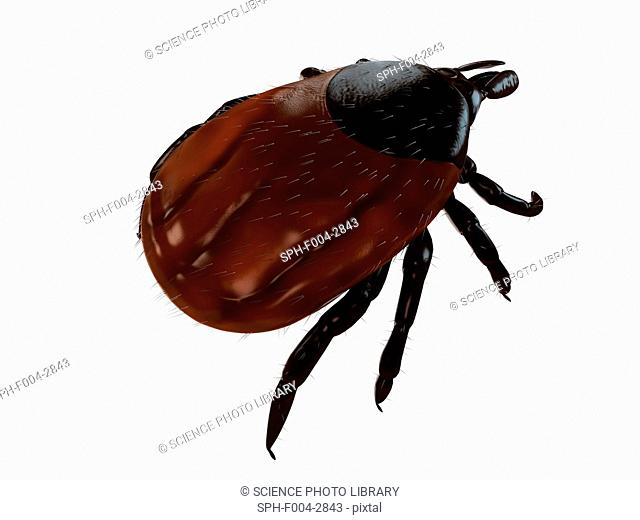 Tick superfamily Ixodoidea, computer artwork