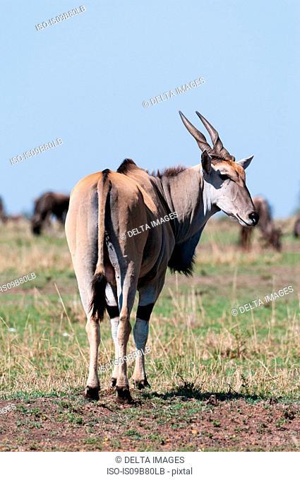 Eland (Taurotagrus oryx), rear view, Maasai Mara National Reserve, Rift Valley, Kenya, Africa