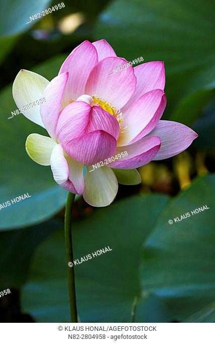 Indian- or Blue Lotus (Nelumbo nucifera) blossom in a garden pond - Bavaria/Germany