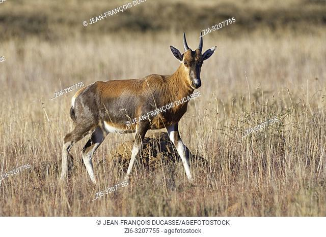 Blesbok (Damaliscus pygargus phillipsi), young, walking in open grassland, alert, Mountain Zebra National Park, Eastern Cape, South Africa, Africa