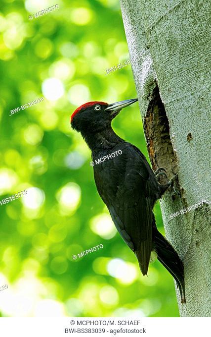 black woodpecker (Dryocopus martius), male at the breeding cave, Germany, Baden-Wuerttemberg