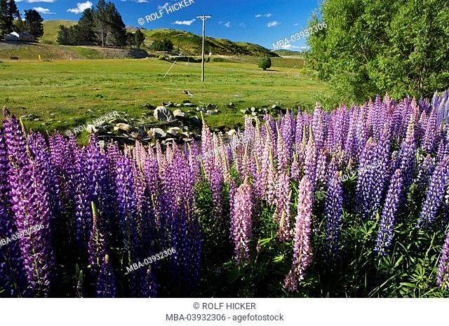 New Zealand, South-island, Central Otago, Cardrona River, many-leaved-lupines, Lupinus polyphyllus, detail, landscape, nature, shore, vegetation, plants