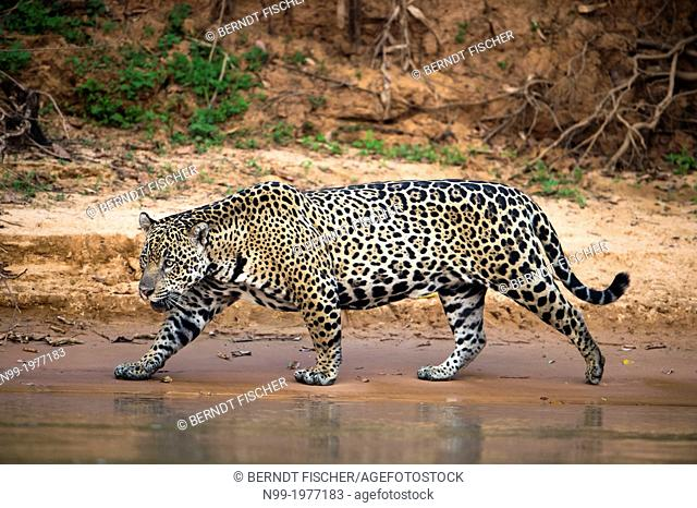 Jaguar, walking along the sand bank of a river, Pantanal, Brazil