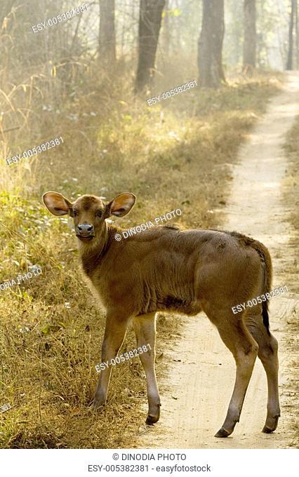 Gaur or Indian Bison bos gaurus calf ; Ranthambore tiger reserve ; Rajasthan ; India