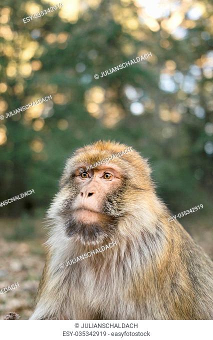 A portrait of a barbary macaque monkey in the forest of Ifrane, Morocco, Africa