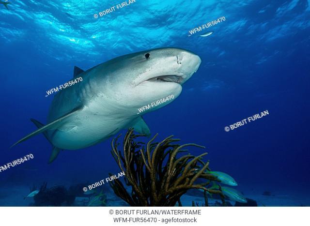 Tiger Shark, Galeocerdo cuvier, Caribbean, Bahamas