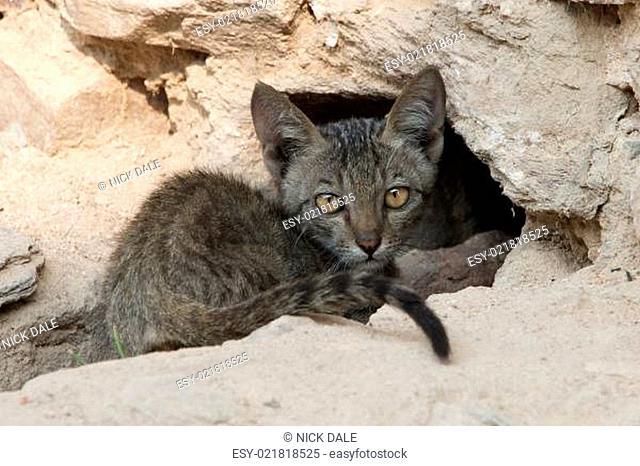 Grey kitten staring suspiciously