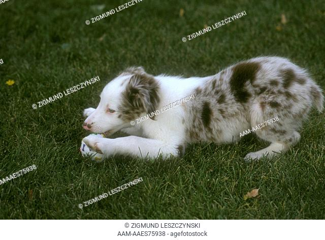 Australian Cattle Dog Puppy playing with Ball