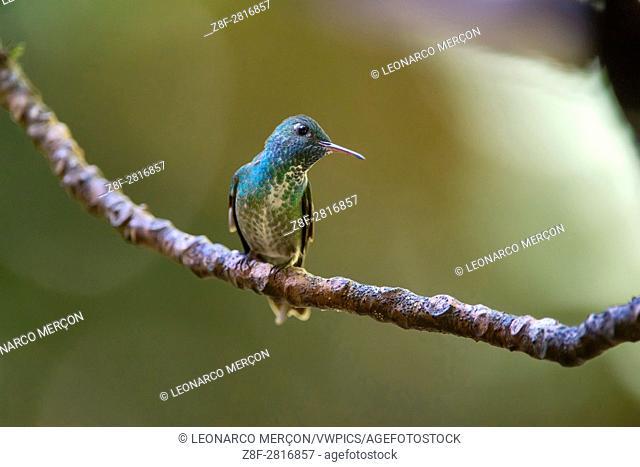 Versicolored Emerald Hummingbird (Versicolored Emerald), photographed in Santa Teresa, Espírito Santo - Southeast of Brazil. Atlantic Forest Biome