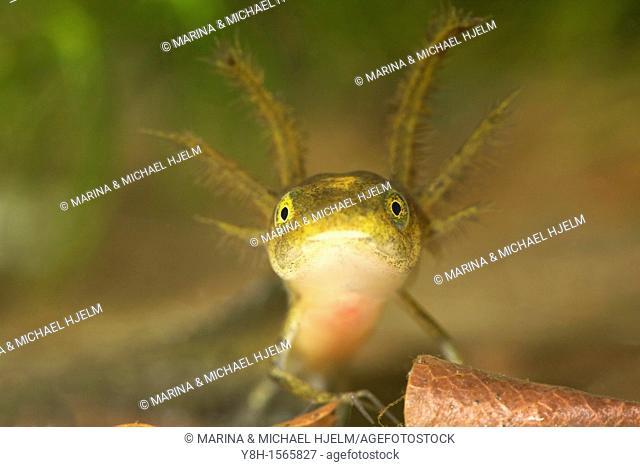 Warty newt, Triturus cristatus, Schleswig-Holstein, Germany