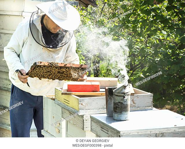Bulgaria, Pleven, beekeeper with honeycombs and smoker