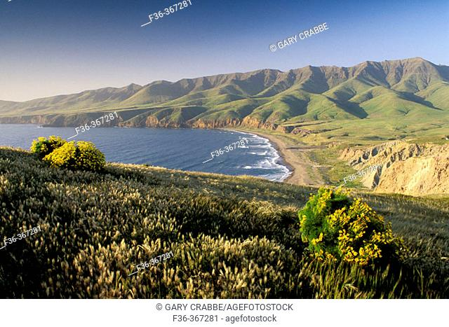 Giant Coreopsis and green hills in spring above Christy Beach, on Santa Cruz Island, Channel Islands, California