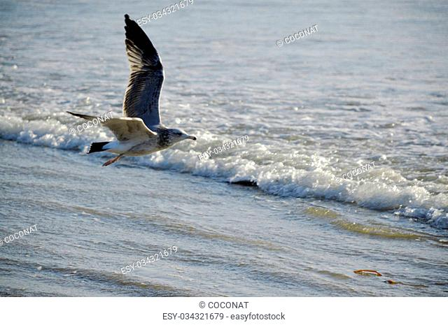 Seagull beautiful graceful bird that lives near the ocean and eat fish