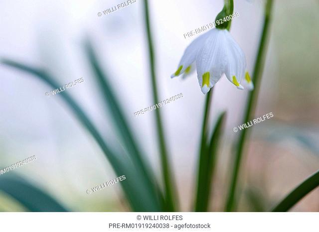 Spring Snowflake, Leucojum vernum, Germany / Großes Schneeglöckchen, Leucojum vernum, Deutschland