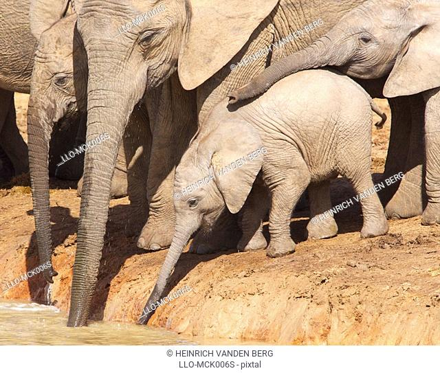 Herd of African Elephant Loxodonta africana with a Young Calf at a Water Hole   Addo Elephant National Park, Eastern Cape Province, South Africa