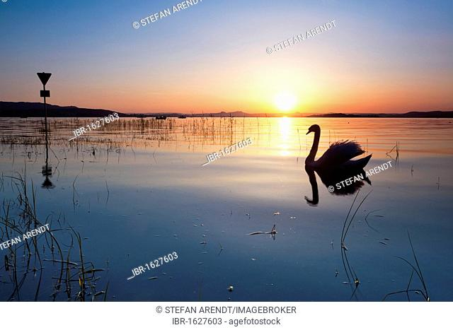 Backlit swan in the evening light on Lake Constance and a sign of the nature reserve, Reichenau Island, Baden-Wuerttemberg, Germany, Europe