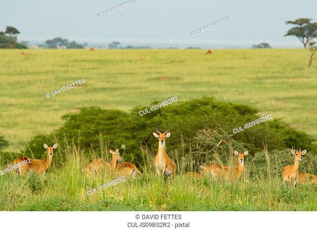 Kob Antelope (Kobus kob), Murchison Falls National Park, Uganda