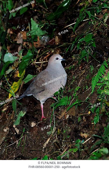 Grey-chested Dove (Leptotila cassinii cerviniventris) adult, standing on steep slope, Panacam, Honduras, February