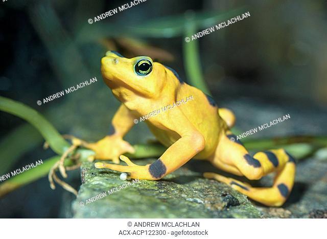 Panamanian Golden Frog (atelopus varius zeteki) - captive. A critically endangered frog endemic to Panama