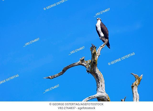 Osprey (Pandion haliaetus) on snag, Fern Ridge Wildlife Area, Oregon