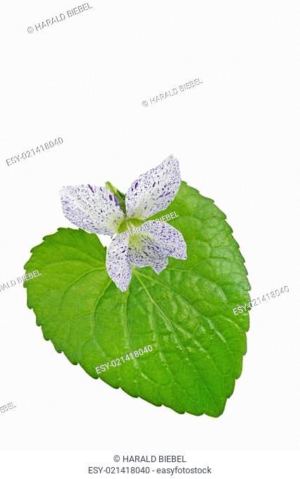 Pfingstveilchen (Viola Sororia)