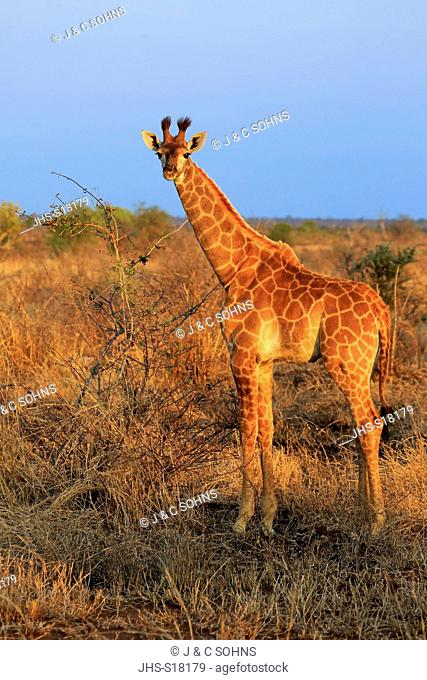 Cape Giraffe, (Giraffa camelopardalis giraffa), young, Kruger Nationalpark, South Africa, Africa