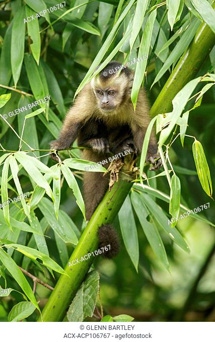 Brown Cappuchin Monkey perched on a branch in Manu National Park, Peru
