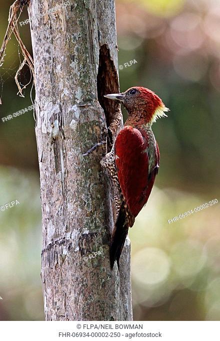 Banded Woodpecker (Picus miniaceus malaccensis) adult female, at nesthole in tree trunk, Taman Negara N.P., Titiwangsa Mountains, Malay Peninsula, Malaysia