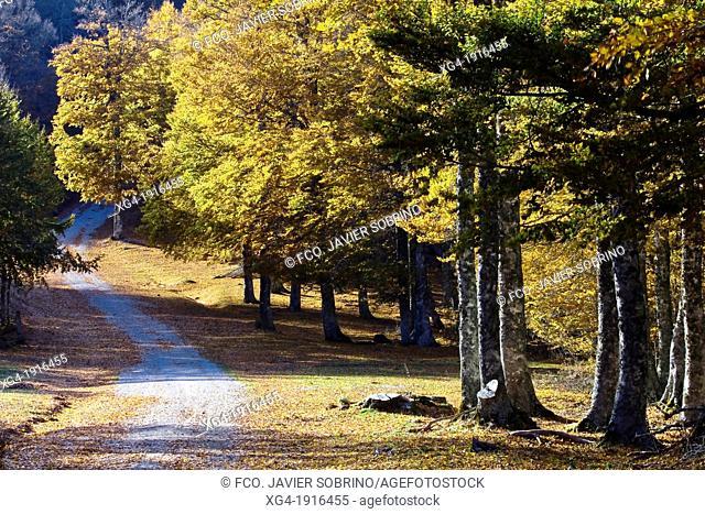 Beech forest in the Sierra de Abodi - Irati - Navarre Pyrenees - Navarra - Spain - Europe