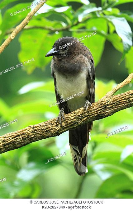 Brown jay (Psilorhinus morio). San Isidro del General Reserve, Costa Rica